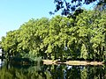 Platany Hlohovec - Plane-trees Hlohovec, Slovakia - panoramio (13).jpg