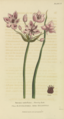 Plate 9 Butomus Umbellatus - Conversations on Botany-1st edition.tiff