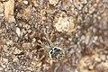 Platnickina tincta (26753637116).jpg