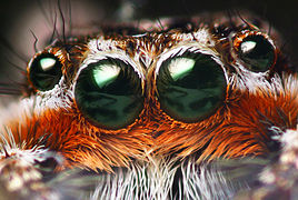 Platycryptus male eyes.jpg