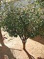 Plinia cauliflora jabuticabeira.jpg