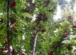 Pohon Buah Wikipedia Bahasa Indonesia Ensiklopedia Bebas