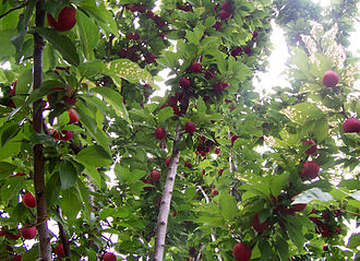 Fruit tree - A plum tree with developing fruit