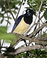 Plush-crested Jay, Cyanocorax chrysops - Flickr - Lip Kee (1).jpg