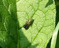 Poecilobothrus nobilitatus - a Dolichopodid - Flickr - gailhampshire (4).jpg