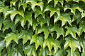 Poertschach Hauptstrasse Parthenocissus tricuspidata Blattwerk 04062015 4423.jpg