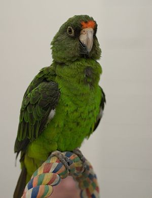 Red-fronted parrot - Juvenile with a little orange patch starting to form on its forehead