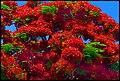 Pointsieana Tree Redcliffe-01+ (2067130295).jpg