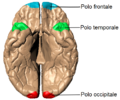 Poles of cerebral hemispheres (it) - vista inferiore.png