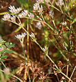 Polycarpaea corymbosa W2 IMG 3047.jpg