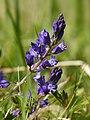 Polygala vulgaris (habitus).jpg