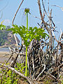 Polynesian Arrowroot (Tacca leontopetaloides) (15547510148).jpg