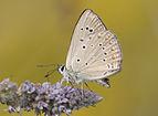 Polyommatus admetus - Anomalous Blue 02.jpg