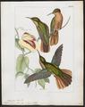Polytmus hyperythrus - 1820-1860 - Print - Iconographia Zoologica - Special Collections University of Amsterdam - UBA01 IZ19100029.tif