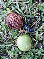 Pong pong tree fruit.jpg