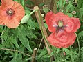 Poppy from Lalbagh flower show Aug 2013 8308.JPG