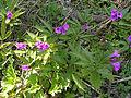 Popradzki Park Krajobrazowy – żywiec gruczołowaty (Dentaria glandulosa).jpg