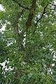 PopulusNigra2d.jpg