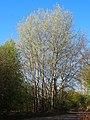 Populus alba Topola biała 2020-04-19 02.jpg