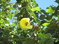 Portia Tree - പൂവരശ്ശ് 06.JPG