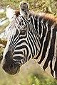 Portrait of a zebra (43858345424).jpg