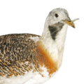 Portrait of great bustard.png