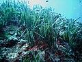 Posidonia oceanica Portofino 01.jpg