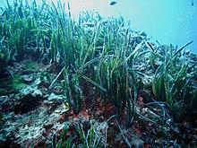 Prateria di P. oceanica - Portofino