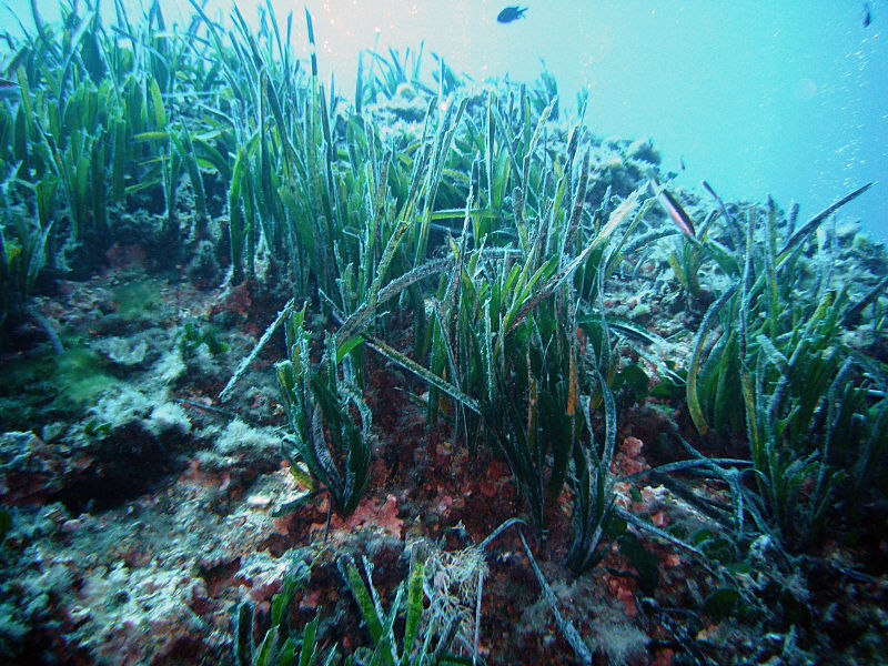 Posidonia oceanica ©15 October 2007 - Source : Own work - Author : Yoruno