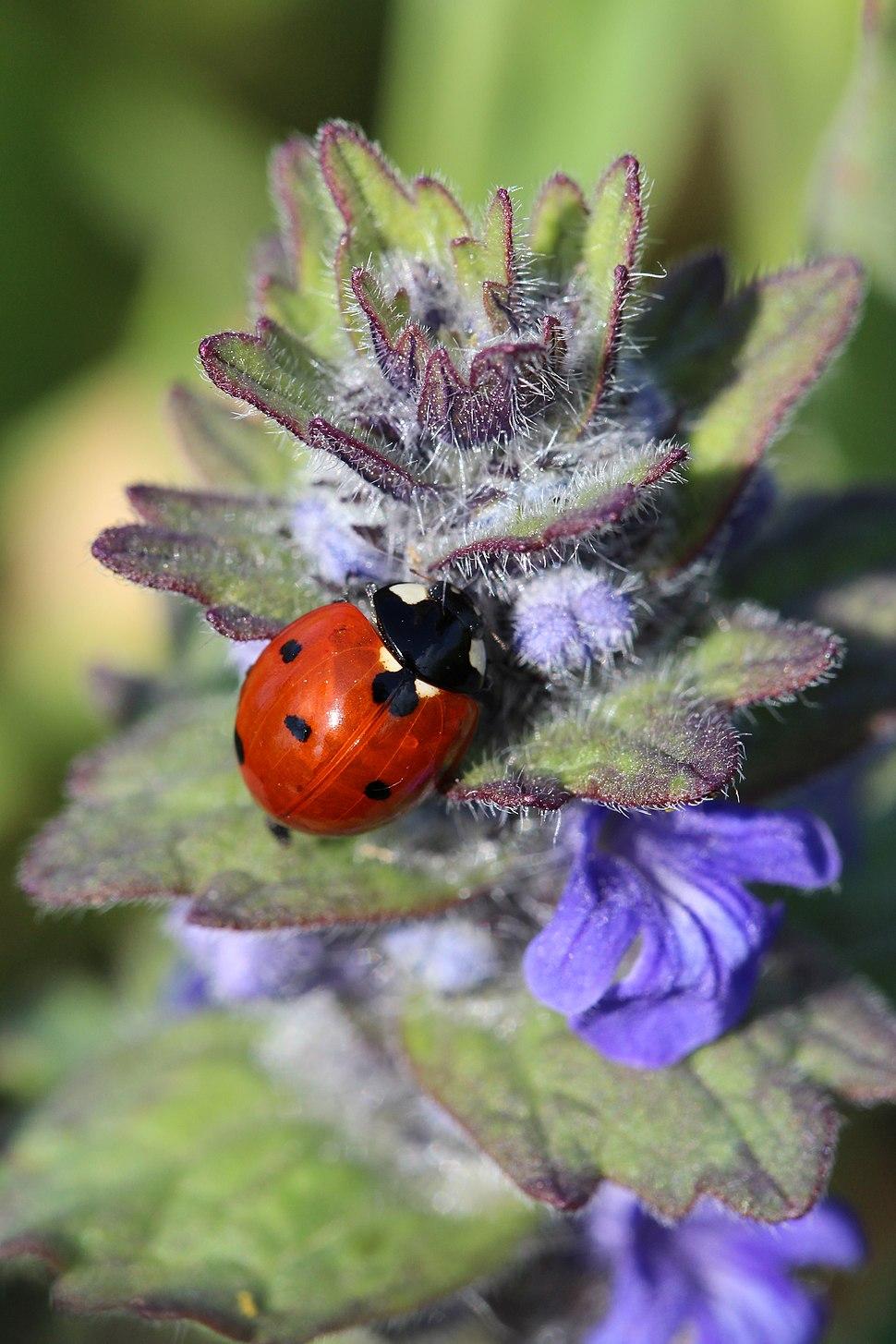 Povlen - zapadna Srbija - Letnja fauna Povlena - Coccinellidae