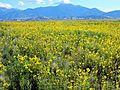 Prairie Sunflowers, Dunes, and Mount Herard (29105666641).jpg
