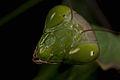 Praying Mantis Mating European-42.jpg