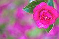 Pretty Pink Camelia (5746088925).jpg