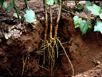 Primary and secondary roots in a cotton plant