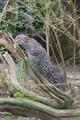Prionailurus viverrinus at the Zoo de la Flèche.tiff