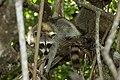 Procyon lotor (raccoon, procione).jpg