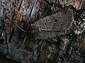 Protolampra sobrina - Cousin German - Земляная совка красноголовая (42080754330).jpg