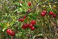 Prunus fruticosa (Zwerg-Weichsel) IMG 2187.JPG