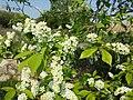 Prunus padus subsp. padus sl9.jpg