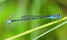Pseudagrion malabaricum Male.jpg
