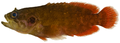Pseudogramma gregoryi - pone.0010676.g056.png