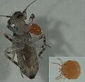 Psocopteran with mite larvae.jpg