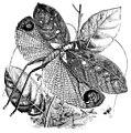 Pterochroza-ocellata2-BW.jpg
