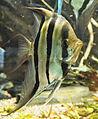 Pterophyllum altum in aquarium.jpg
