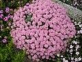 Ptilotrichium spinosum 'roseum' 2.JPG