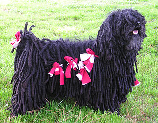Puli dog Dog breed