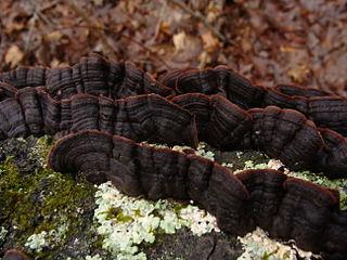 Punctulariaceae family of fungi