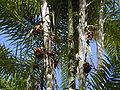 Pupunha (Bactris gasipaes) 6.jpg