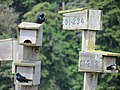Purple martins (Progne subis) Ford Bay Marina 10.jpg