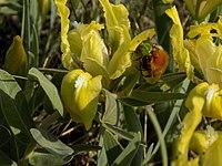 Pygopleurus vulpes on Iris pumila at Aliaudy peninsula.jpg